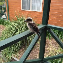 The resident kookaburras love to greet all our guests